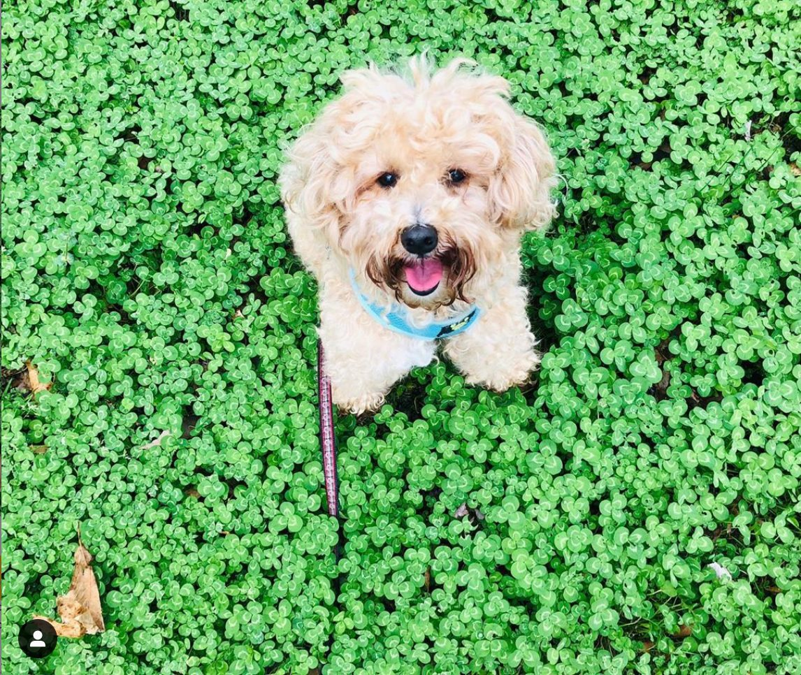 dog in a clover patch
